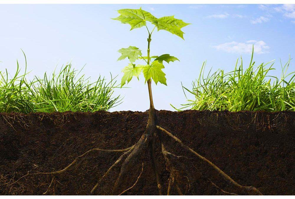 Investigadores del CSIC identifican el mecanismo que permite a las raíces de las plantas buscar la humedad en el suelo