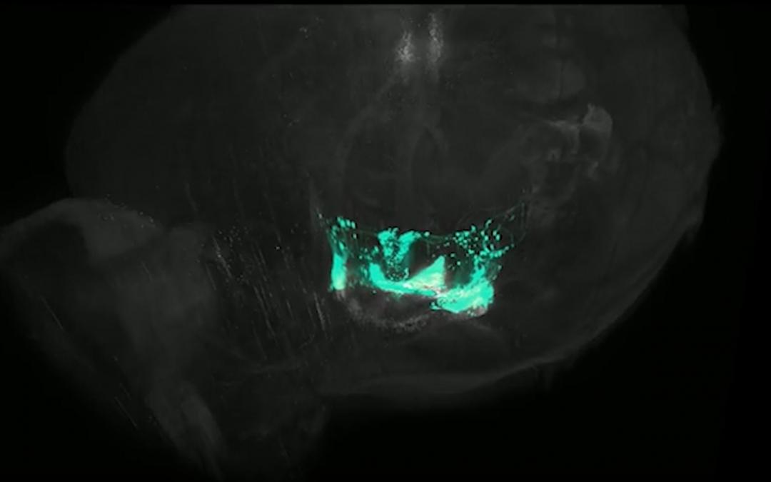Visualitzen els circuits d'oxitocina i vasopresina en 3D amb una resolució sense precedents