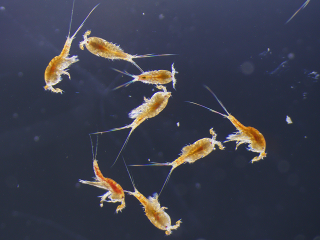 Descubren una nueva vía de entrada de ácidos grasos omega 3 a la cadena trófica marina