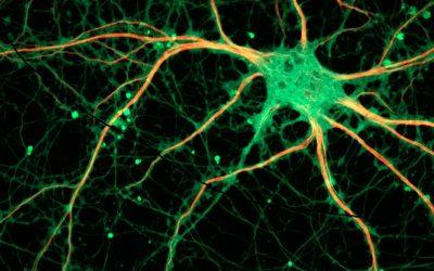 Descobert un nou mecanisme de formació de la memòria social