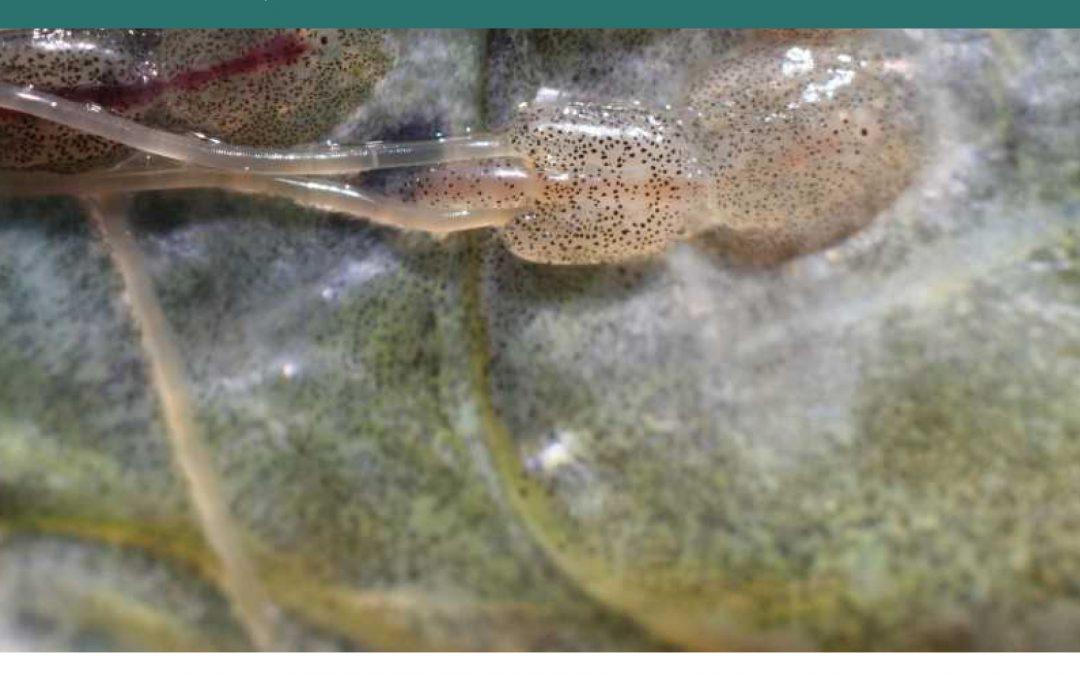 L'Institut d'Aqüicultura Torre de la Sal edita un manual de referència per al control de malalties parasitàries de peixos